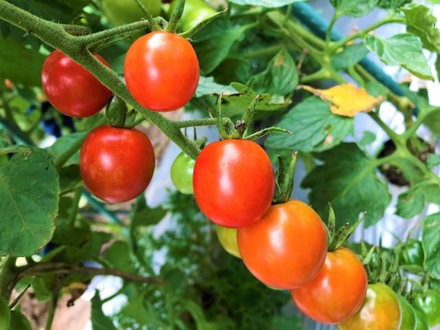 家庭菜園,野菜,時期