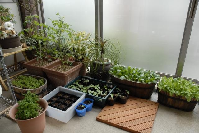 ベランダ家庭菜園,初心者