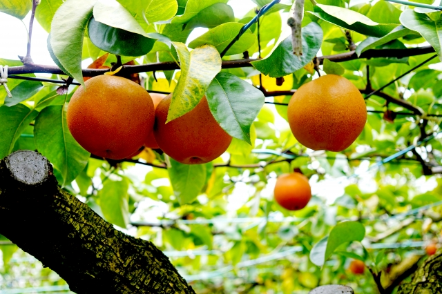 久留米市,中村果樹園フルトリエ,観光梨狩り,値段,開催期間,営業時間
