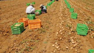 ジャガイモの後作に良い野菜