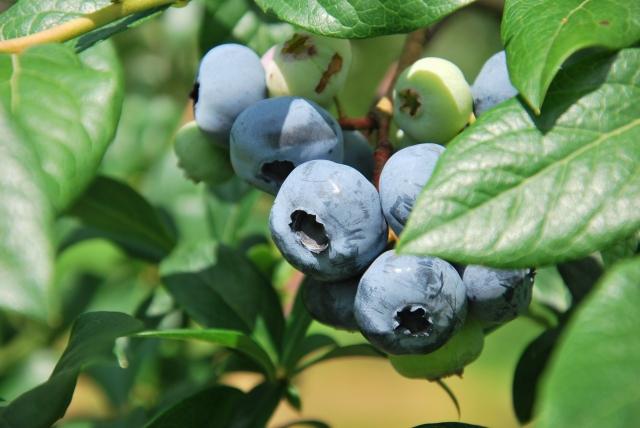 ブルーベリー,植える,時期
